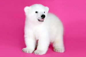 The Buffalo Zoo introduced its new born polar bear cub . . .