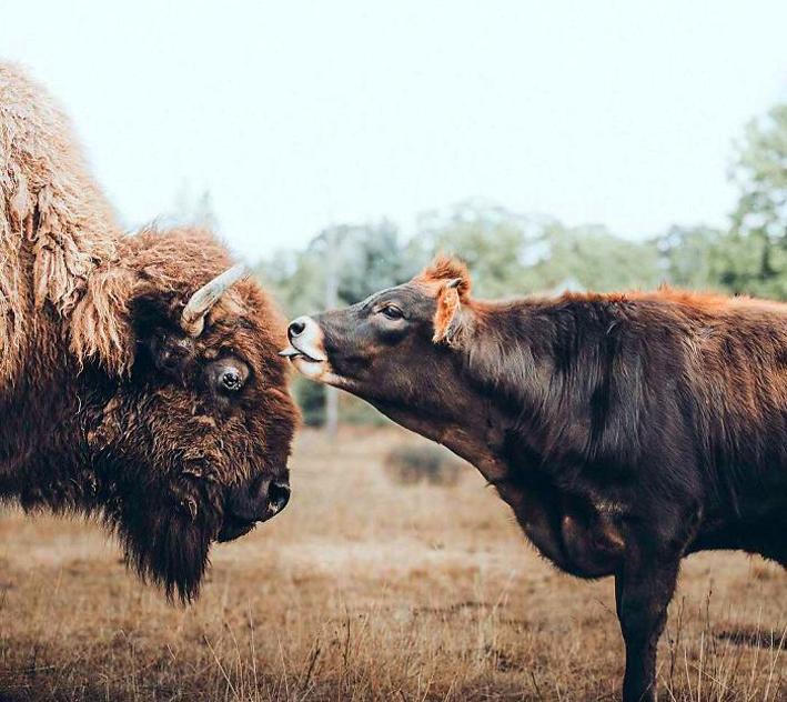 bisonte-3