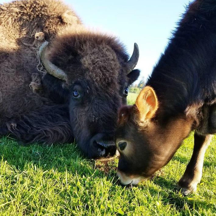 bisonte-4