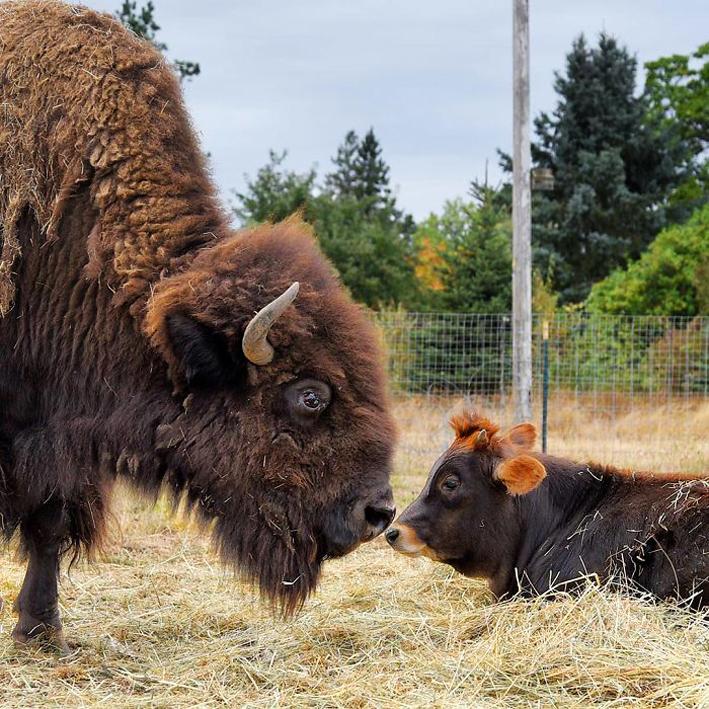 bisonte-6