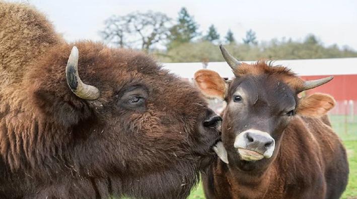 bisonte-e-vitellino